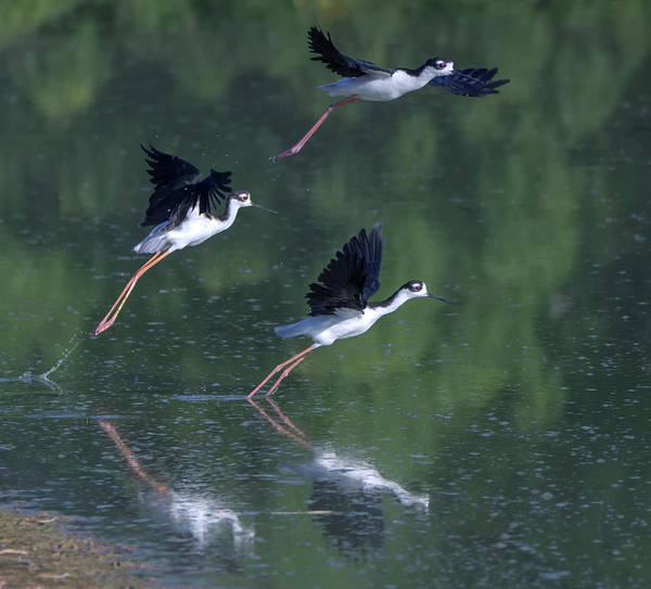 Photograph - Black-necked Stilts 4302-080917-3cr by Tam Ryan