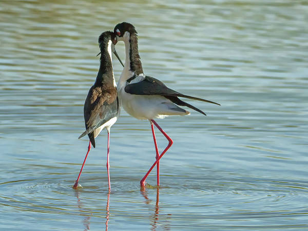 Photograph - Black-necked Stilts 5131 by Tam Ryan