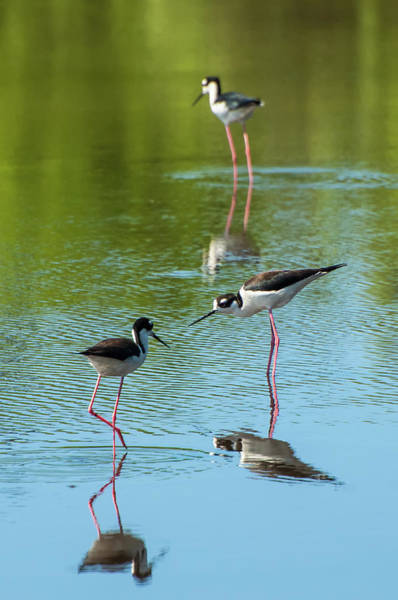 Wall Art - Photograph - Black-necked Stilts by Rich Leighton