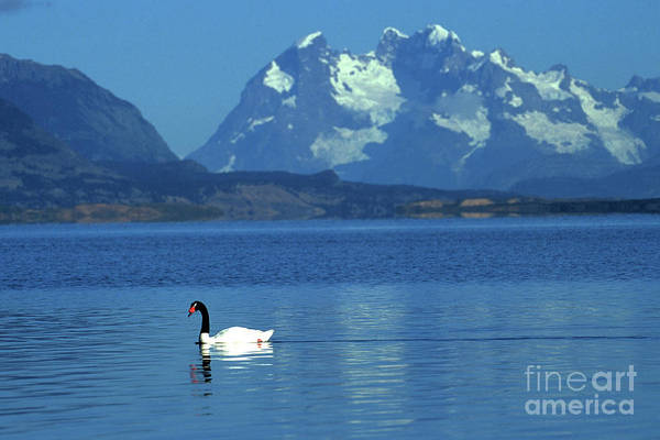 Swan Neck Photograph - Black Necked Swan On Last Hope Sound Chile by James Brunker