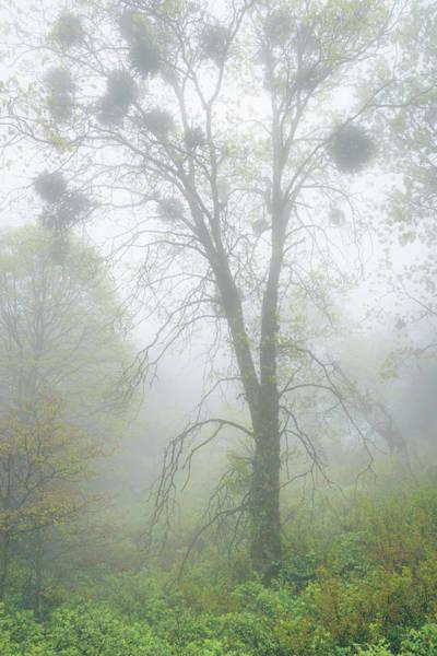 Photograph - Black Oak With Mistletoe In Fog by Alexander Kunz