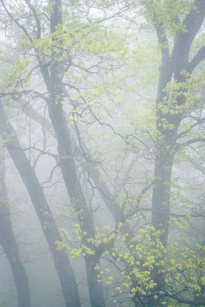 Photograph - Black Oaks With Fresh Green Leaves by Alexander Kunz