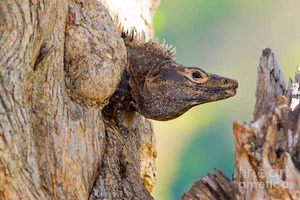 Ensenada Photograph - Black Or Spiny-tailed Iguana by B.G. Thomson