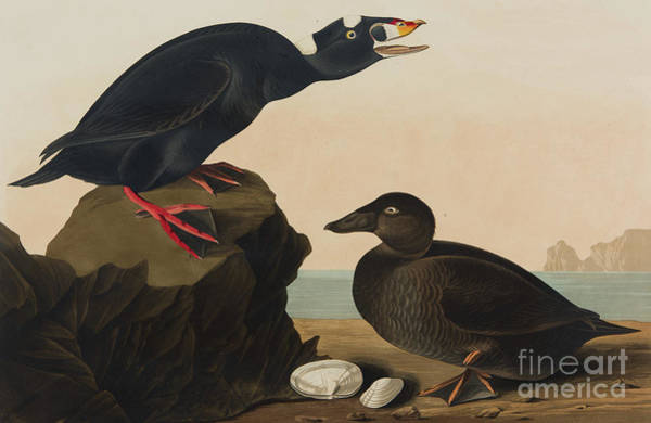 Painting - Black Or Surf Duck, 1836 by John James Audubon
