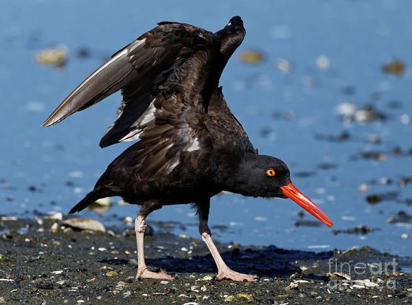 Photograph - Black Oyster Catcher by Sue Harper