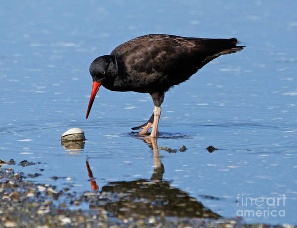 Photograph - Black Oystercatcher And Clam by Sue Harper
