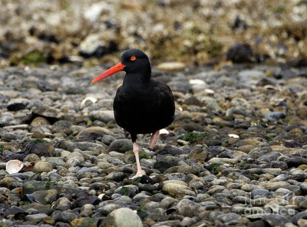 Photograph - Black Oystercatcher Relax by Sue Harper