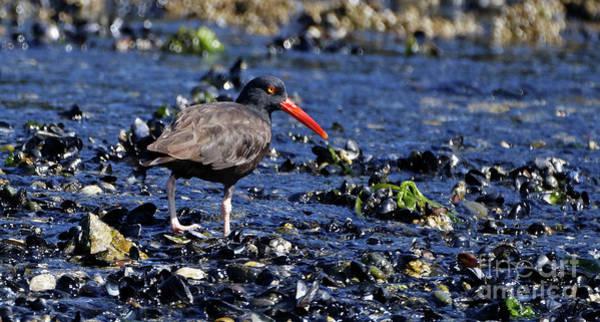Photograph - Black Oystercatcher Stream Edge by Sue Harper