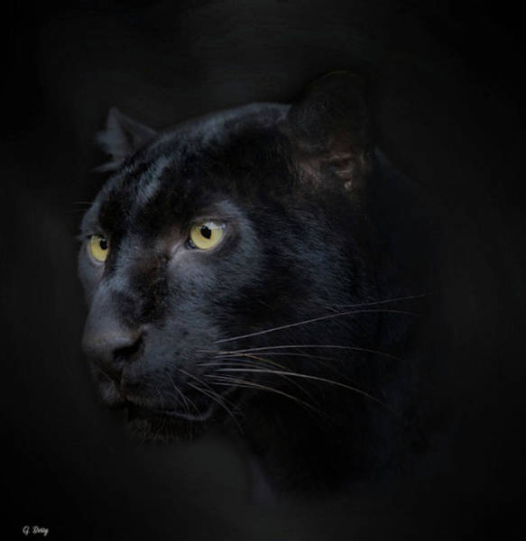 Wild Life Mixed Media - Black Panther Portrait by G Berry