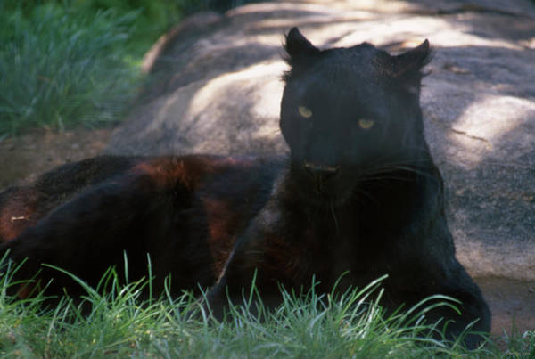 Wall Art - Photograph - Black Panther by Soli Deo Gloria Wilderness And Wildlife Photography