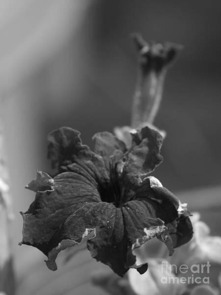 Photograph - Black Petunia by Vivian Martin
