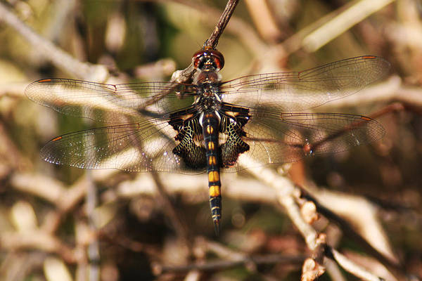 Photograph - Black Saddlebags Dragonfly by William Selander