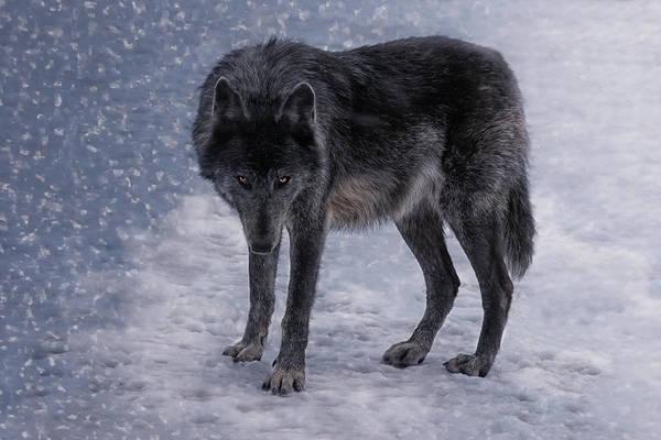 Timber Wolves Photograph - Black She-wolf by Joachim G Pinkawa