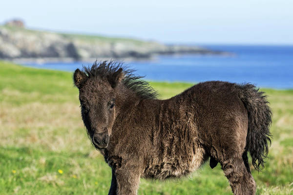 Photograph - Black Shetland Pony Foal by Arterra Picture Library