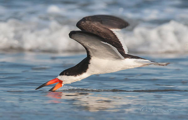 Photograph - Black Skimmer 6227 by Dan Beauvais