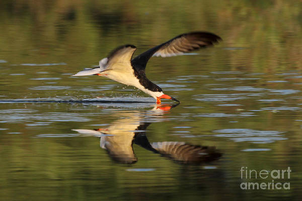 Black Skimmer Fishing Art Print