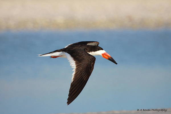 Photograph - Black Skimmer In Flight by Barbara Bowen