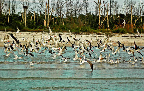 Photograph - Black Skimmers And Royal Terns On  Bonita Beach by Ginger Wakem