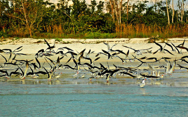 Photograph - Black Skimmers And Royal Terns On Ft Myers Beach by Ginger Wakem
