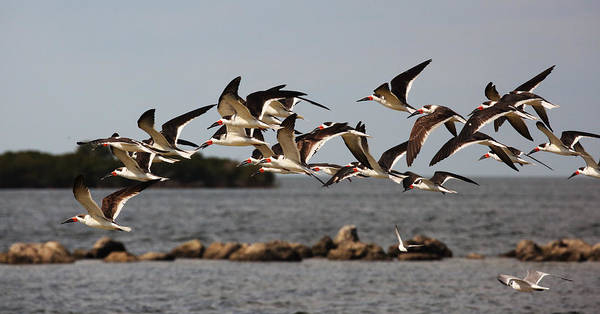 Photograph - Black Skimmers In Flight by Jean Clark
