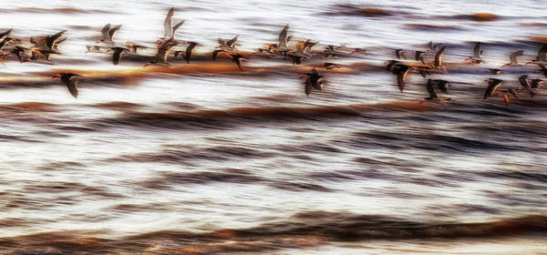 Photograph - Black Skimmers Of Long Beach - Mississippi - Birds by Jason Politte