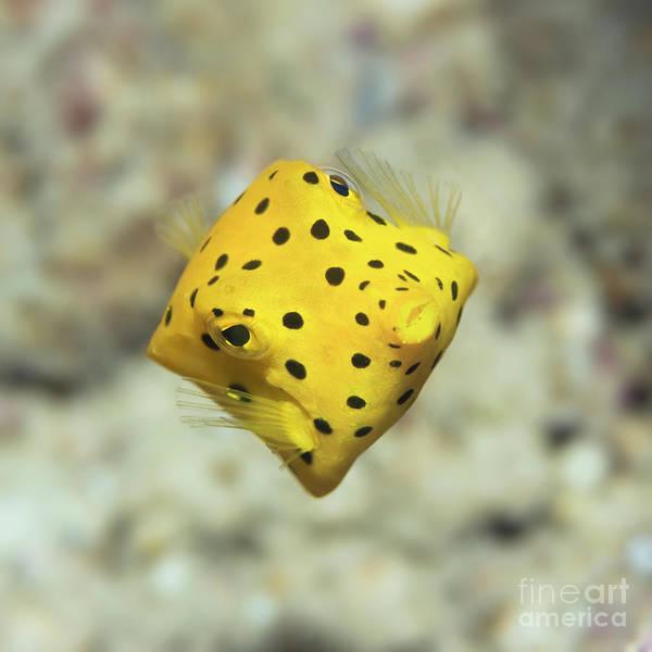 Wall Art - Photograph - Black-spotted Boxfish by MotHaiBaPhoto Prints