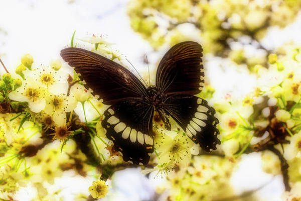 Photograph - Black Spring Butterfly by Garry Gay