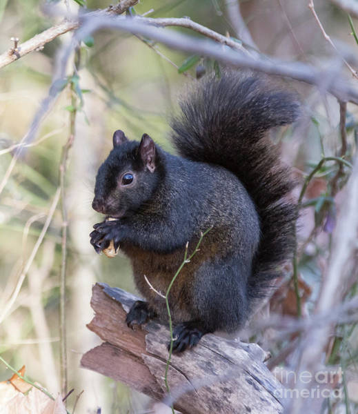 Photograph - Black Squirrel 1 by Chris Scroggins