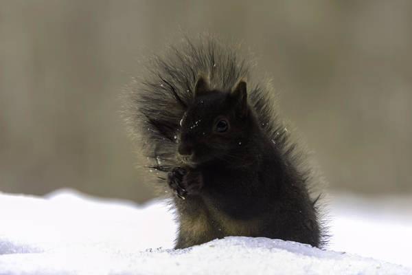 Photograph - Black Squirrel by Liza Eckardt