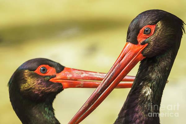 Photograph - Black Storks Jerez De La Frontera Spain by Pablo Avanzini