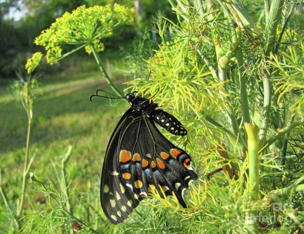 Photograph - Black Swallotail Butterfly by Richard Nickson