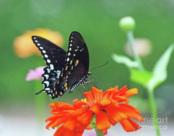 Photograph - Black Swallowtail 12 by Lizi Beard-Ward