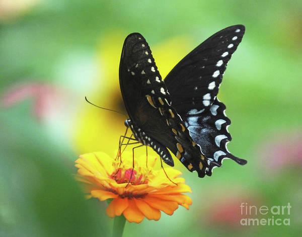 Photograph - Black Swallowtail 13 by Lizi Beard-Ward