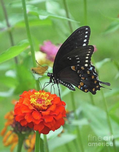 Photograph - Black Swallowtail 14 by Lizi Beard-Ward