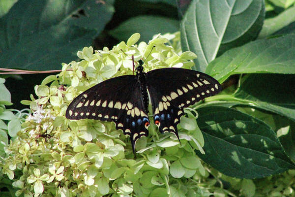 Photograph - Black Swallowtail 2 by Pete Federico