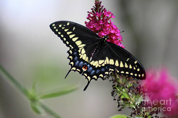 Photograph - Black Swallowtail Butterfly Dorsal View by Karen Adams