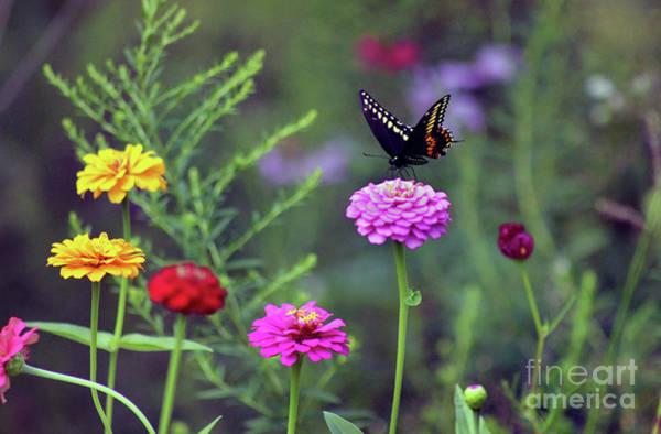 Photograph - Black Swallowtail Butterfly In August  by Karen Adams