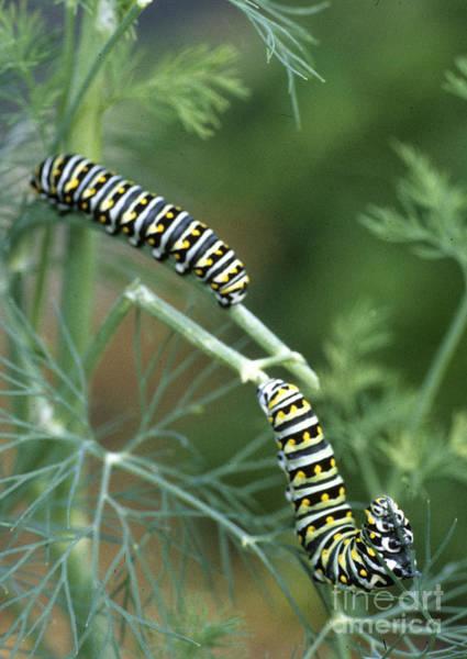 Photograph - Black Swallowtail Butterfly Larva  by Richard Nickson