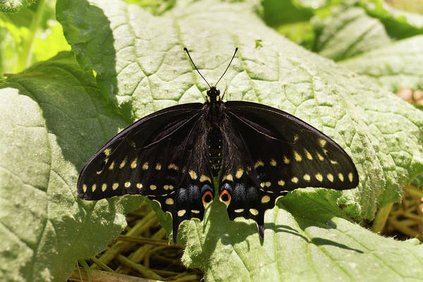Photograph - Black Swallowtail Butterfly On A Borage Leaf by MM Anderson