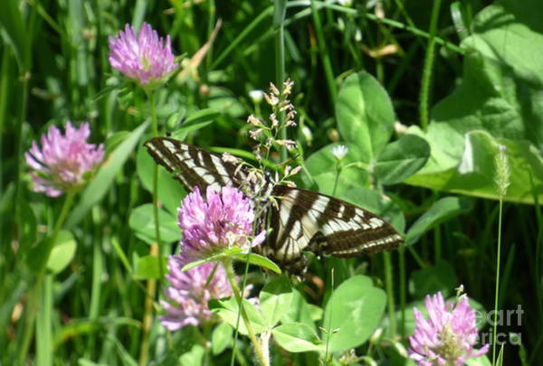 Photograph - Black Swallowtail Butterfly On Flower by Charles Robinson