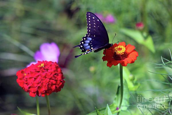 Photograph - Black Swallowtail Butterfly On Orange Zinnia by Karen Adams