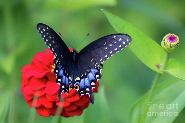 Photograph - Black Swallowtail Butterfly On Red Zinnia by Karen Adams