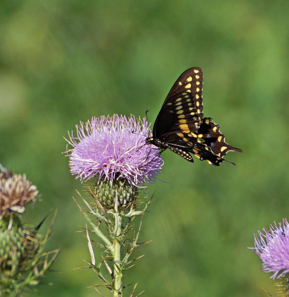 Photograph - Black Swallowtail Butterfly by Sandy Keeton
