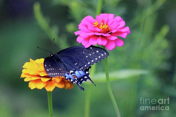 Photograph - Black Swallowtail Butterfly With Zinnias by Karen Adams