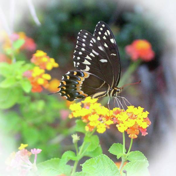Photograph - Black Swallowtail by Cynthia Guinn