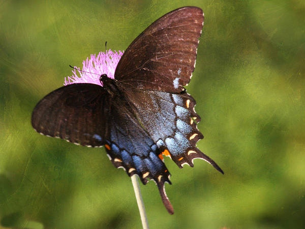 Photograph - Black Swallowtail II by Charles McKelroy