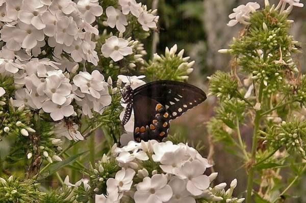 Photograph - Black Swallowtail In White Flowers by Kim Bemis