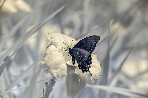 Photograph - Black Swallowtail Infrared by Brian Hale