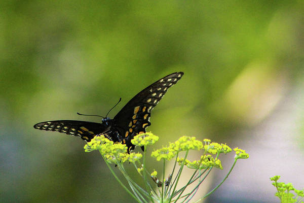 Photograph - Black Swallowtail by Pete Federico