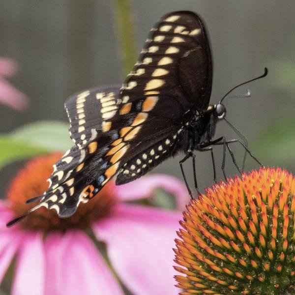 Wall Art - Photograph - Black Swallowtail by Winnie Chrzanowski